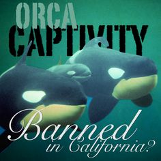 BREAKING NEWS: A California lawmaker is looking to BAN orca captivity in California. Take that, SeaWorld!