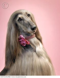 if i had an afghan hound, i would definitely get some portraits made.
