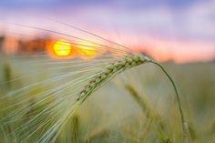 Grain Korn