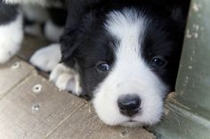 4 wk old Border Collie pups