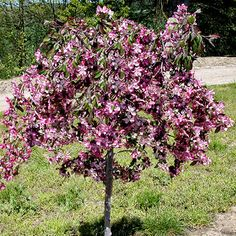 This beautiful crabapple has a graceful, weeping habit with rose-pink flowers in spring and bold, purple foliage in summer. It has great disease resistance, too. And 'Ruby Tears' holds onto its fruits -- so they're always available for the birds. Name: Malus 'Ruby Tears' Zones: 4-8 Note: This is a special offering for the winner of our Season-Long Wildlife Garden -- 'Ruby Tears' crabapple will not be available for sale until 2010!