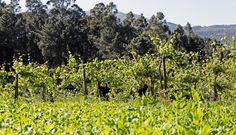 As uvas estão a ficar prontas para serem colhidas! The grapes are ready to be harvested! #Soalheiro #Vindimas #Harvest