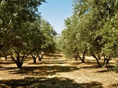 pictures of olive picking in Crete - Google Search