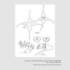 Brachionidium ephemerum
