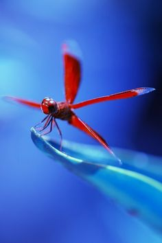 Red Dragonfly with a blue background. Lovely.