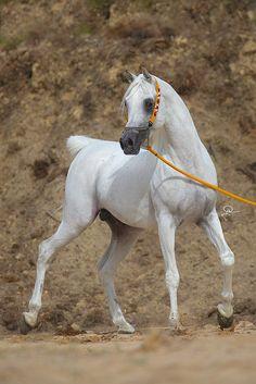 Arabian Horse - Horse Breed