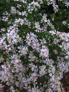 Aster cordifolius - Blue wood aster - US native