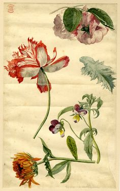 Flower studies, formerly in an album; including two Pansy flowers and a ragged red and white Tulip (?)  Watercolour;  Jan van Huysum