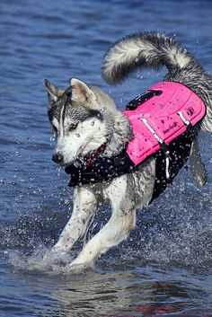 Wonderful All About The Siberian Husky Ideas. Prodigious All About The Siberian Husky Ideas. Siberian Husky Funny, Siberian Huskies, I Love Dogs, Cute Dogs, Awesome Dogs, Husky Grooming, Alaskan Husky, Homeless Dogs, Cute Dog Pictures