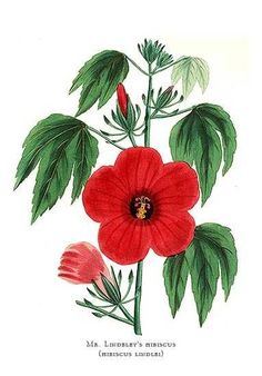 Botanical Print by Paxton of  Mr Lindeley's Hibiscus