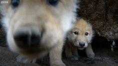 Young Snow Wolves Filmed Using Remote Camera http://ift.tt/2k4eSQ5