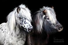 Pony - Pferdefotografie, Hundefotografie, Fotografie Bettina Niedermayr Pferde - Mensch & Pferd - Hunde- Portrait - Stallschilder - Kalender, Pferdekalender, Haflingerkalender mit Kohlfuchs Liz. Steiermark