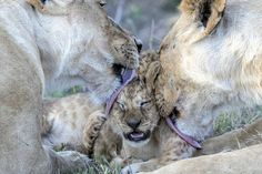 Lion cub being groomed by 2 females by Paul Goldstein.