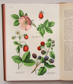 ドイツのアンティーク植物図鑑 - O Bel Inventaire-Bis*アンヴァンテール・ビス*