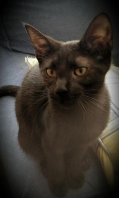 Irene is a female Siamese/DSH mix kitten available at Blue's Mews Siamese Cat Rescue, Fairborn,OH.