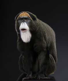 "De Brazza's (Guenon) Monkey - also called the ""Ayatollah"", Old World Monkey lives in forests of Africa, weighs ~8-14lbs. White beard, muzzle & rump with a white stripe down thigh; males have blue scrotum, orange crescent-shaped marking to forehead, cheek pouches. Shy, territorial, arboreal, swim; Live ~20y"