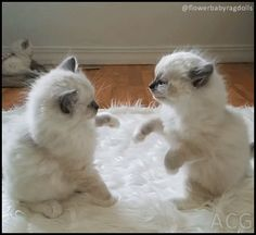 ACG • Wrestling ragdoll kittens Funny and cute Kitten fight between 2 adorable Ragdoll Kitties