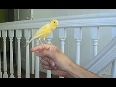 Canary singing on my hand Canary Singing, Canary Birds, Diy Stuffed Animals, Love Birds, Pet Birds, Vivid Colors, Life Is Good, Dog Cat