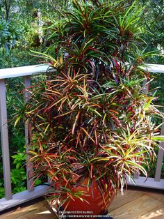 Thread in the Tropicals forum forum by ScotTi: Thought I would share some photos of another great color leaf plant . Outdoor Flower Planters, Outdoor Flowers, Tropical Landscaping, Tropical Plants, Container Flowers, Container Plants, Croton Plant Care, Large Indoor Plants, Architectural Plants