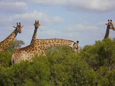 Kruger National Park - Great pic of Giraffes