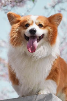 Love Wallpaper, Corgi, Puppies, Animals, Tips, Corgis, Cubs, Animales, Wallpaper Of Love