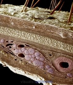 Anatomy Drawing Medical Photographic Print: Skin Cross-Section, Showing the Epidermis, Dermis, Perichondrium, Elastic Cartilage by Richard Kessel : - Scanning Electron Micrograph, Scanning Electron Microscope Images, Microscope Pictures, Microscopic Photography, Microscopic Images, Cross Section, Macro And Micro, Human Anatomy And Physiology, Things Under A Microscope