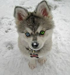 Look at those eyes. I just love heterochromia dogs...