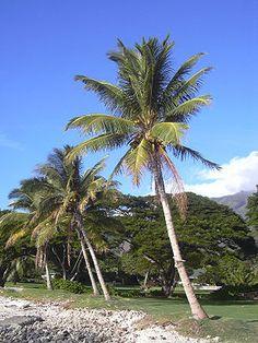 """Kokospalmen auf Maui """"Die Kokospalme oder #Kokosnusspalme (Cocos nucifera) ist ein tropischer Baum aus der Familie der Palmengewächse, an dem die Kokosnuss wächst. Cocos nucifera ist die einzige Art der Gattung. """""""