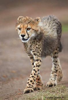 A Cheetah cub walking in the Masai Mara, Kenya  by Austin Thomas on 500px