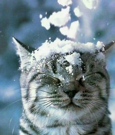 Striped cat with eyes closed and snow on head on Hello Lovely Studio