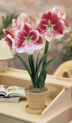 Amaryllis for the Holidays - The name