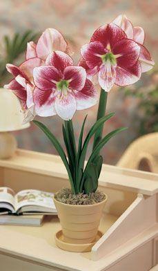 1000 images about pokojov rostliny on pinterest for Amarilis decoration