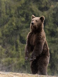 Why visiting Transylvania? One answer is the brown bears. #wildlife #romania #forest #woods #outdoors #nature #photos #photography #cuteanimals #beautifulnature #scenery #naturephotography #pictures