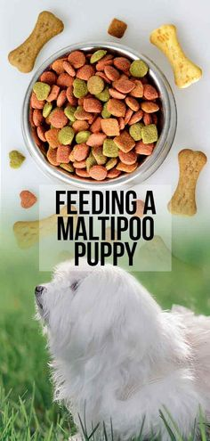 Feeding A Maltipoo Puppy - Routines, Schedules And Amounts Best Puppy Food, Dog Food, Dog Treat Recipes, Raw Food Recipes, Small Breed, Small Dogs, Puppy Feeding Schedule, Puppy Food Brands, Nutritional Requirements