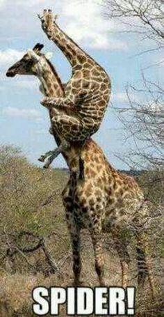 Als een giraf een spin ziet...