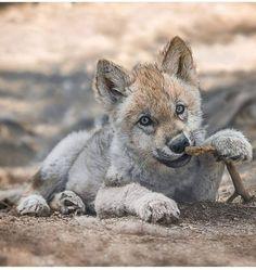 Rare Animals, Cute Baby Animals, Animals And Pets, Funny Animals, Strange Animals, Beautiful Wolves, Animals Beautiful, Wolf Pictures, Animal Pictures