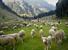 Shepherd show me how to go over the hillside steep, how to gather, how to sew, how to feed thy sheep.  I will listen for Thy voice, less my footsteps stray.  I will follow and rejoice, all the rugged way...
