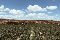 #strawberryfield #southafrica #summer #field #people #aesthetic #sky #clouds #mountain #vsco Strawberry Fields Forever, Vsco, My Photos, Mountain, Clouds, People, Summer, Outdoor, Outdoors