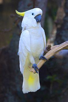 "High Quality Stock Photos of ""bali"" Tropical Birds, Exotic Birds, Colorful Birds, Cute Birds, Pretty Birds, Beautiful Birds, Macaw Parrot For Sale, Parrot Tattoo, Australian Parrots"