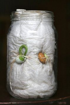 Growing beans in a mason jar is a clever way to get the students to see all of the stages of plant growth.