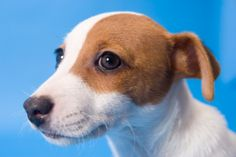 Parson Russell Terriers (formerly known as Jack Russell) are small hunting dogs.