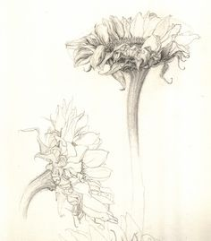 tenayalena: A graphite study of sunflowers.