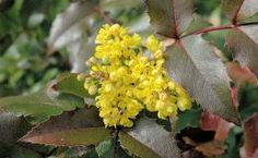 Mahonia aquifolium – Mahonie