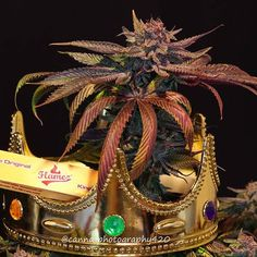 Smoke the most beautiful buds with royal Flamez papers #rollingpaper #smokingpapers #flamezproducts #greengoproducts #royal #kingsday #tilburg #weedlife #weedporn #420lifestyle #710 #kush #dank #smoking #marijuana