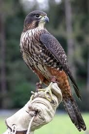 NZ falcon - Falco novaeseelandiae