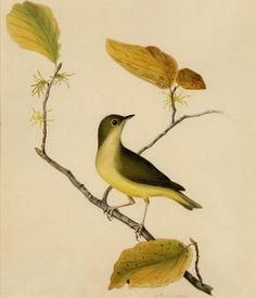 Connecticut warbler by peacay, via Flickr
