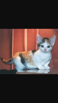 Munchkin Cat Dwarf Cat Cat And Munchkin Cat - Kitten born with dwarfism is half the cat but twice as cute