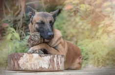 """sixpenceee: """"Adorable photos by Tanja Brandt, a professional animal photographer and collage artist in Germany. Ingo the shepherd dog and Poldi the little owl seem more than happy to cozy up to each..."""