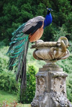 A Peacock In The Garden of Konopiste II.