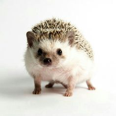 This looks exactly like our cinnamon hedgehog, Hedgie